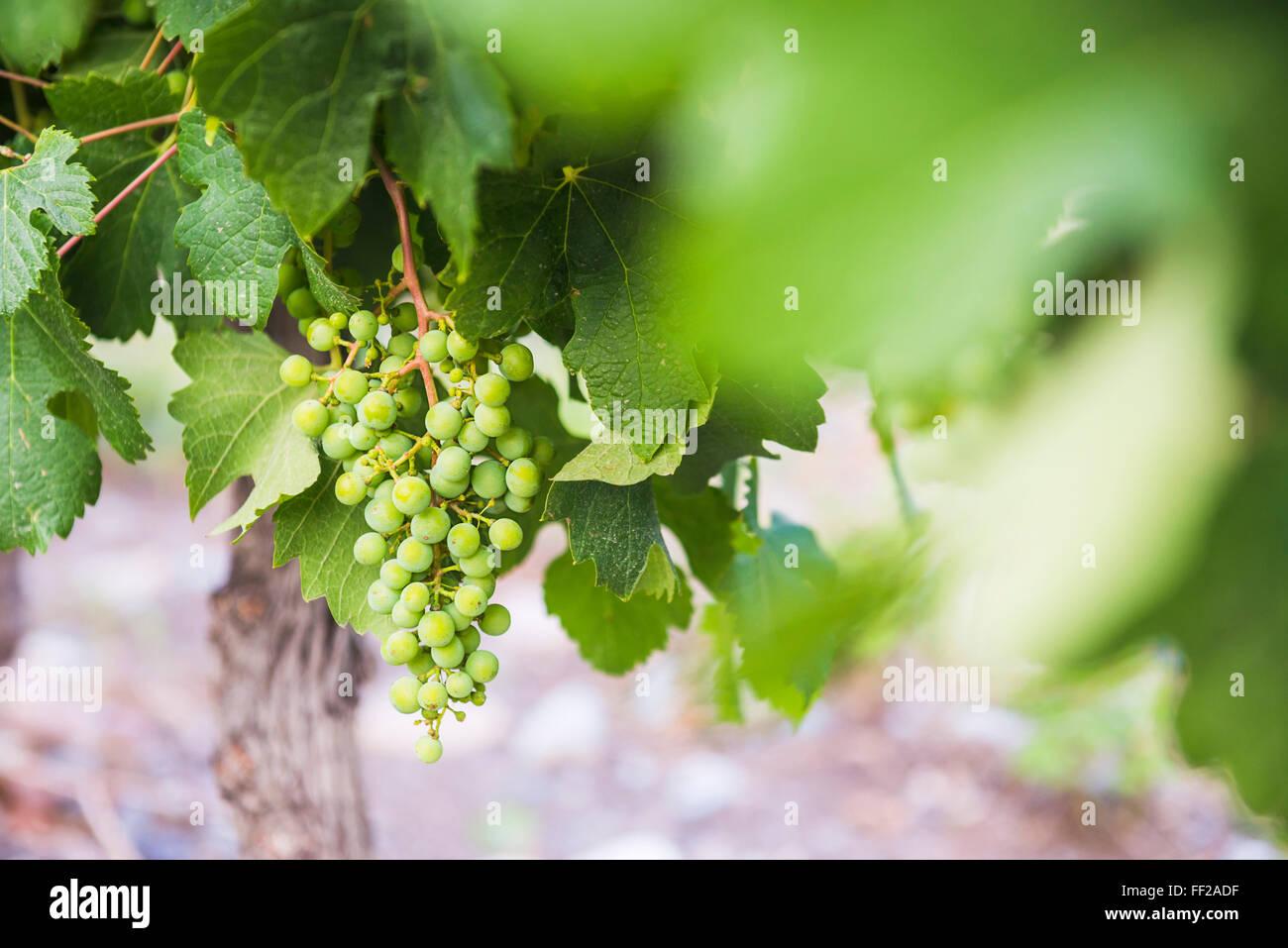 Uva appeso su un vitigno a Bodega AzuRM RMa, una cantina in Uco VaRMRMey (VaRMRMe de Uco), una regione di vini nella Immagini Stock
