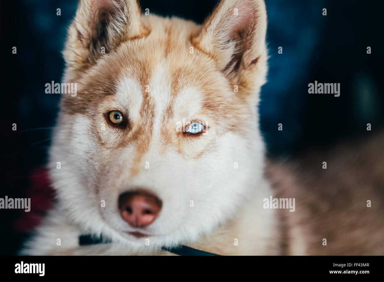 In prossimit della testa di giovani felici husky cucciolo di cane eschimese con occhi - Husky con occhi diversi ...