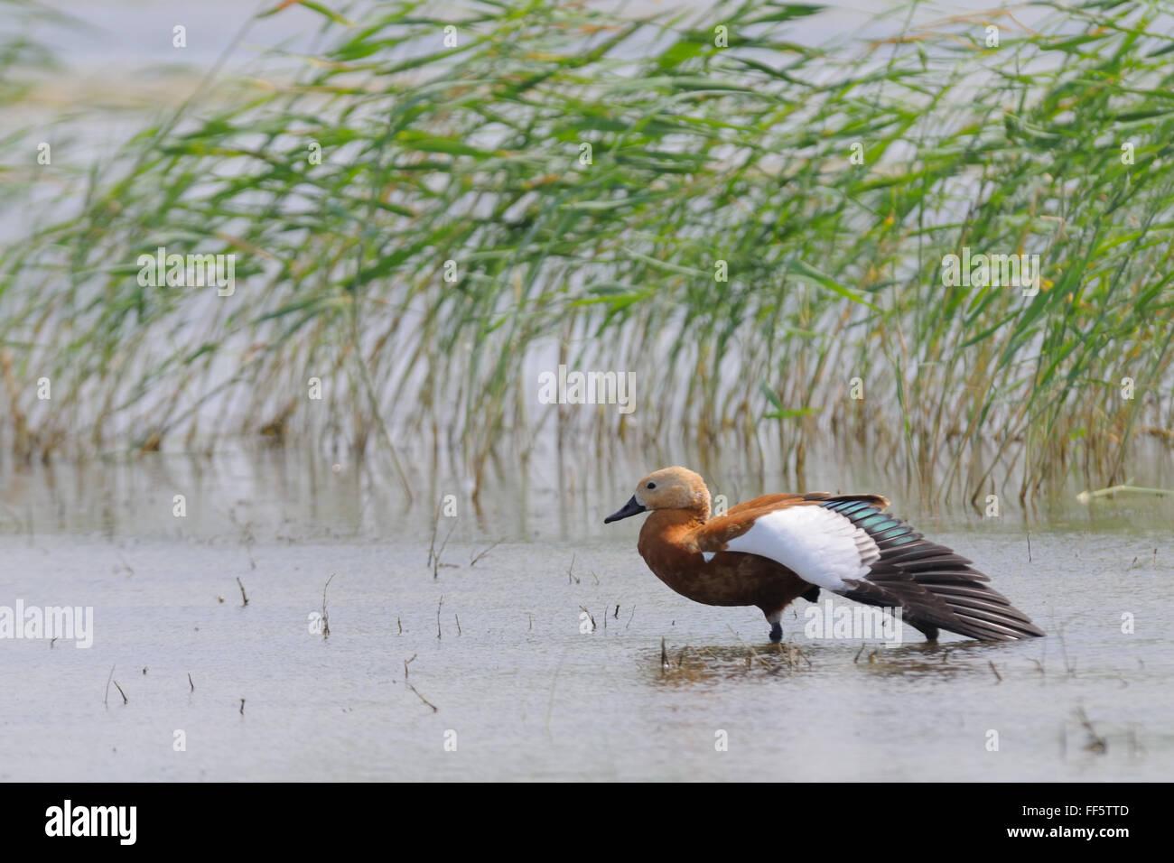 Casarca (Tadorna ferruginea) vicino al lago Manych reed. Kalmykia, Russia Immagini Stock