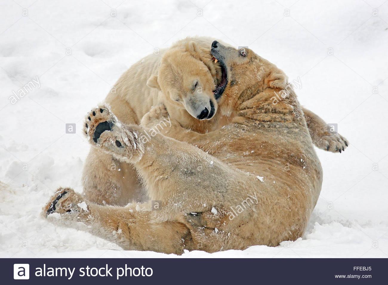 Due orsi polari scontri per le strade coperte di neve la massa Immagini Stock