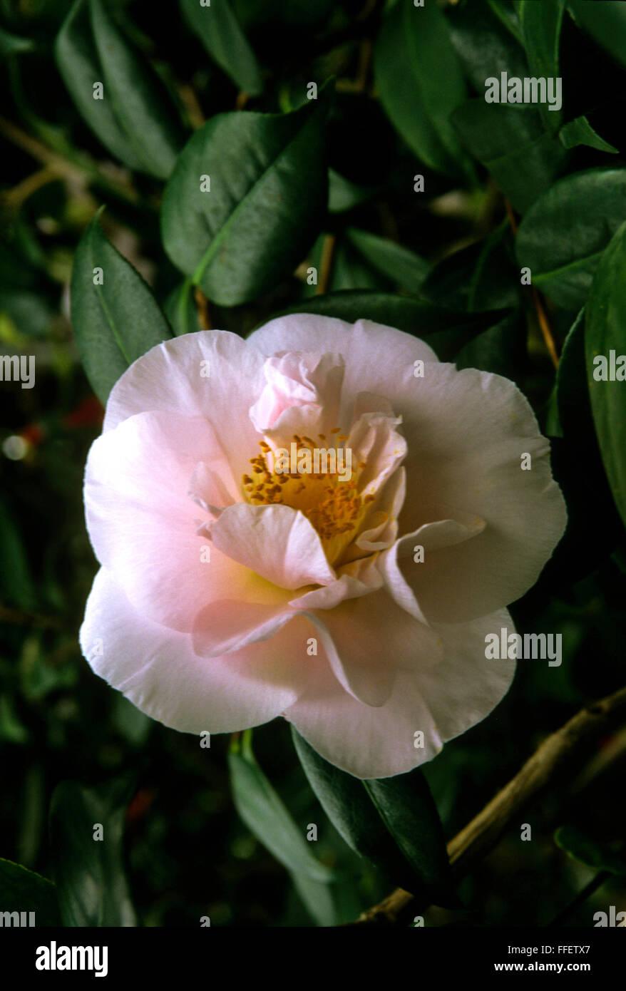 Camellia japonica sig.ra D W Davis Immagini Stock