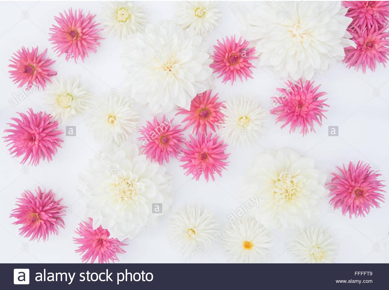Bianco E Rosa Fiori Dahlia Su Sfondo Bianco Foto Immagine Stock