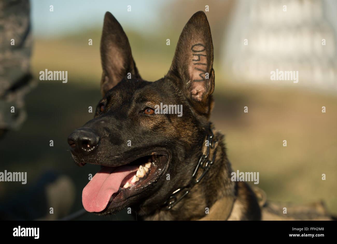 OOlaf attende istruzioni dal personale Sgt. Sharif DeLarge, un militare di cane da lavoro dal gestore del 802nd Immagini Stock