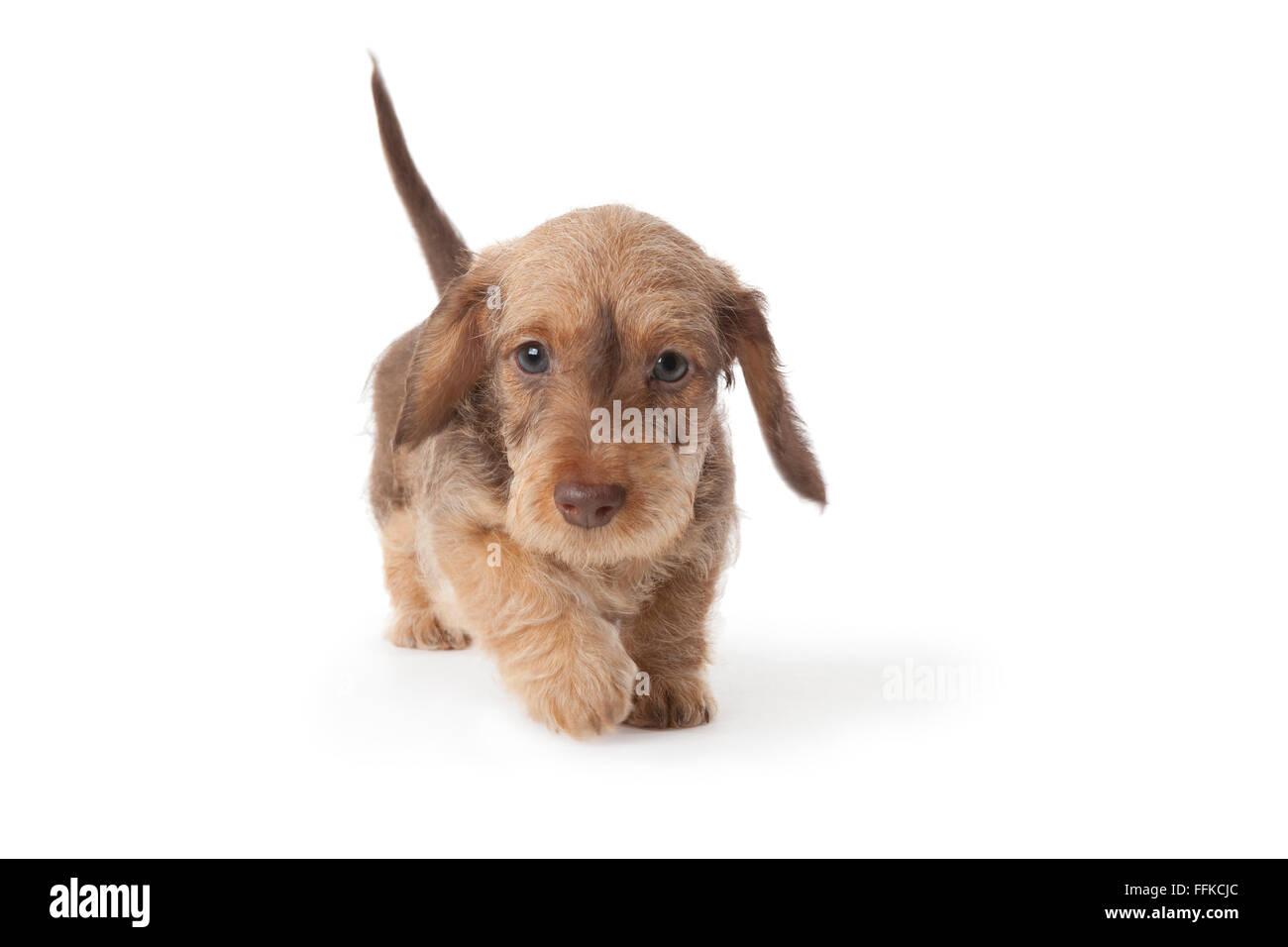 Filo a piedi dai capelli bassotto cucciolo su sfondo bianco Immagini Stock