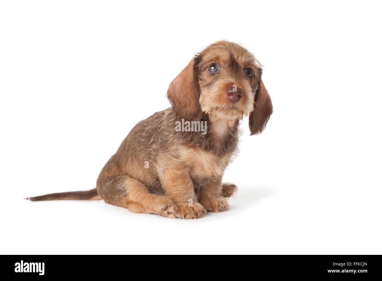 Carino il filo dai capelli bassotto cucciolo su sfondo bianco Immagini Stock