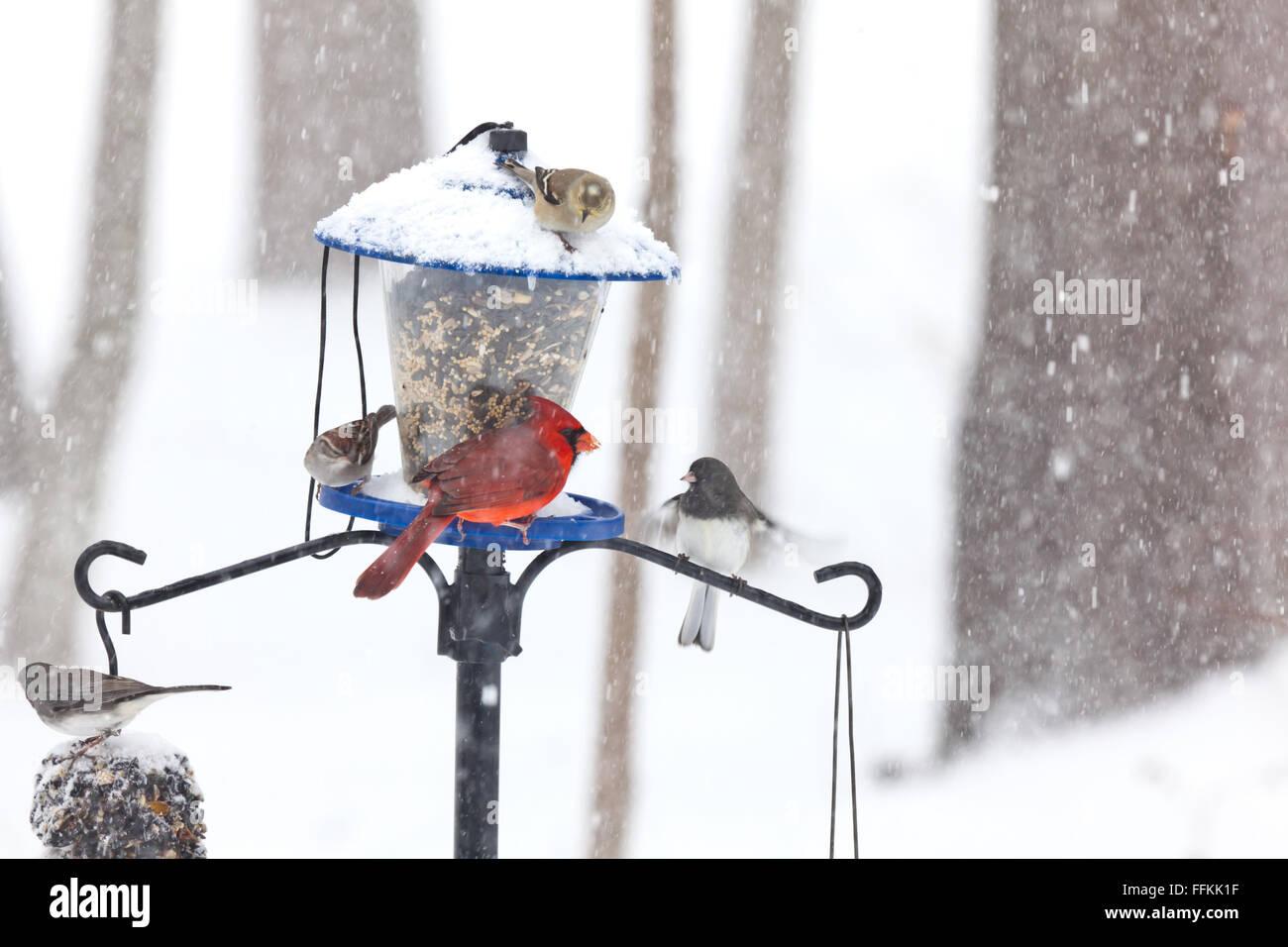 Uccelli a un alimentatore di uccelli nella neve. Il cardinale e altri Foto Stock