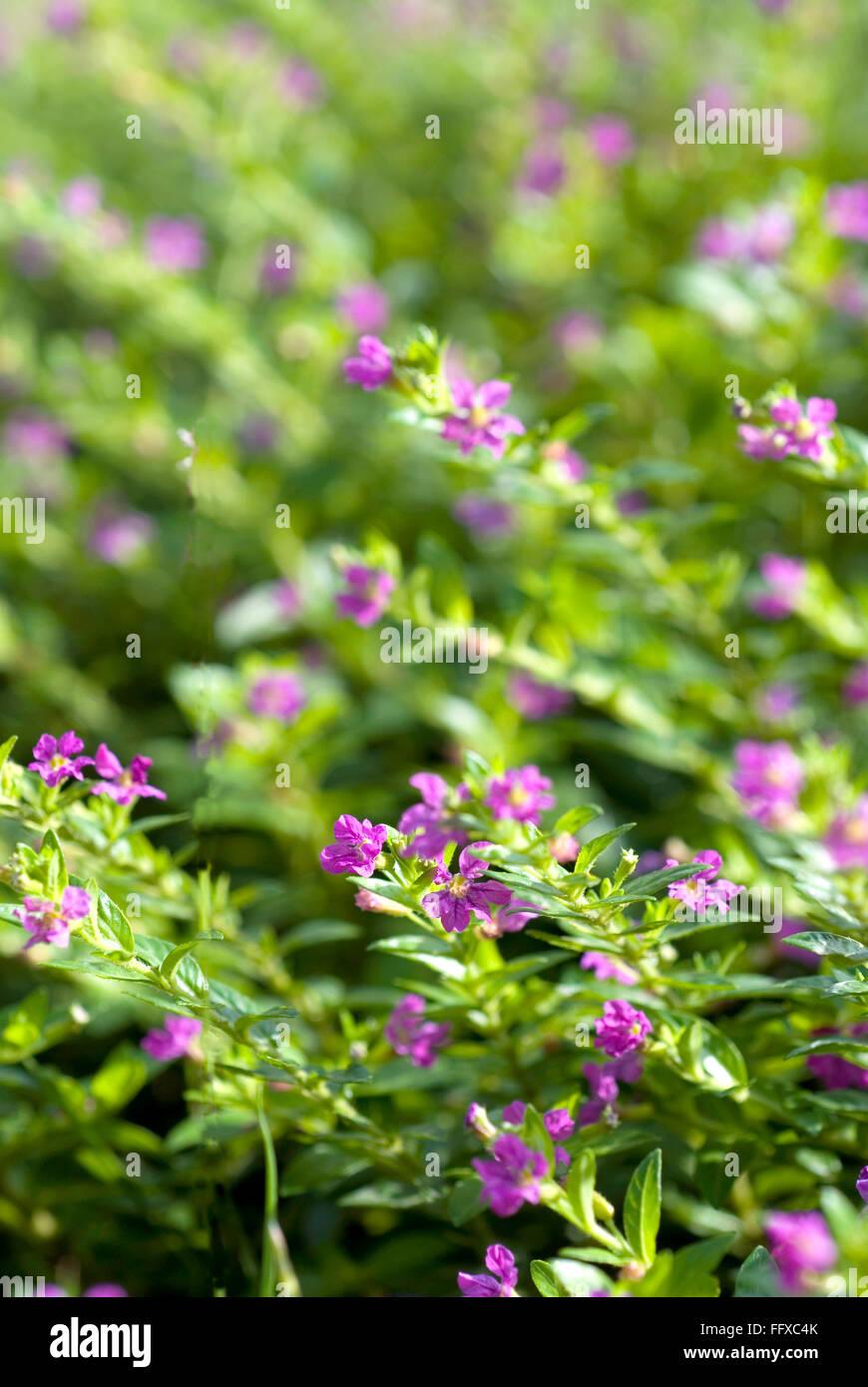 Piante Da Siepi Immagini pianta da siepe immagini & pianta da siepe fotos stock - alamy