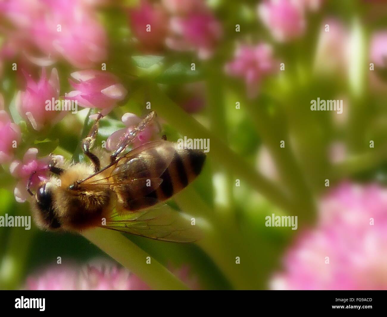 Close-Up di miele delle api su fiori di colore rosa Immagini Stock 0ba4da9651b