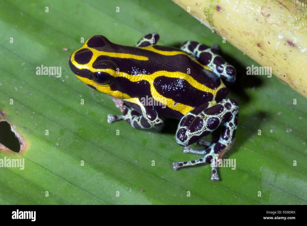 Variabile Rana veleno (Ranitomeya coenobita), Ecuador Immagini Stock