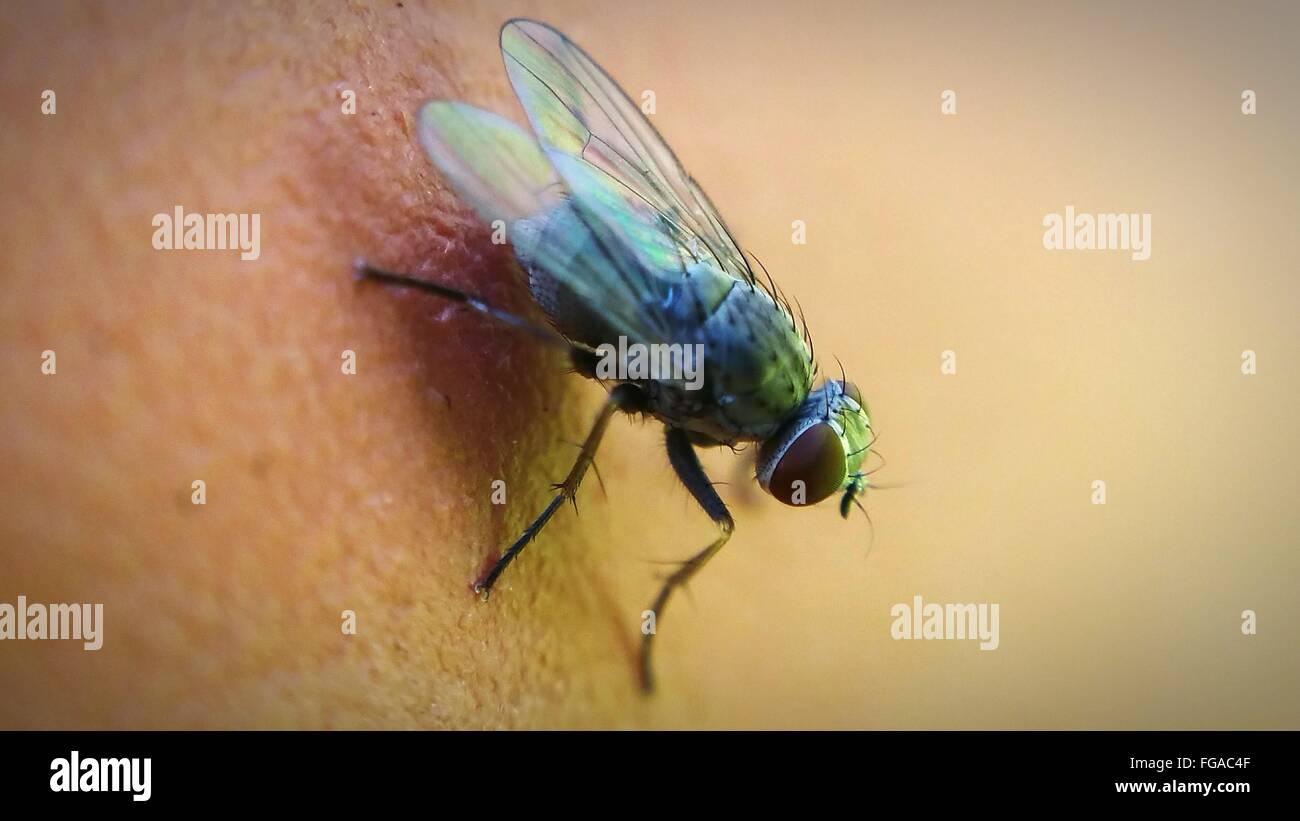 Close-Up di Housefly sulla pelle umana Immagini Stock