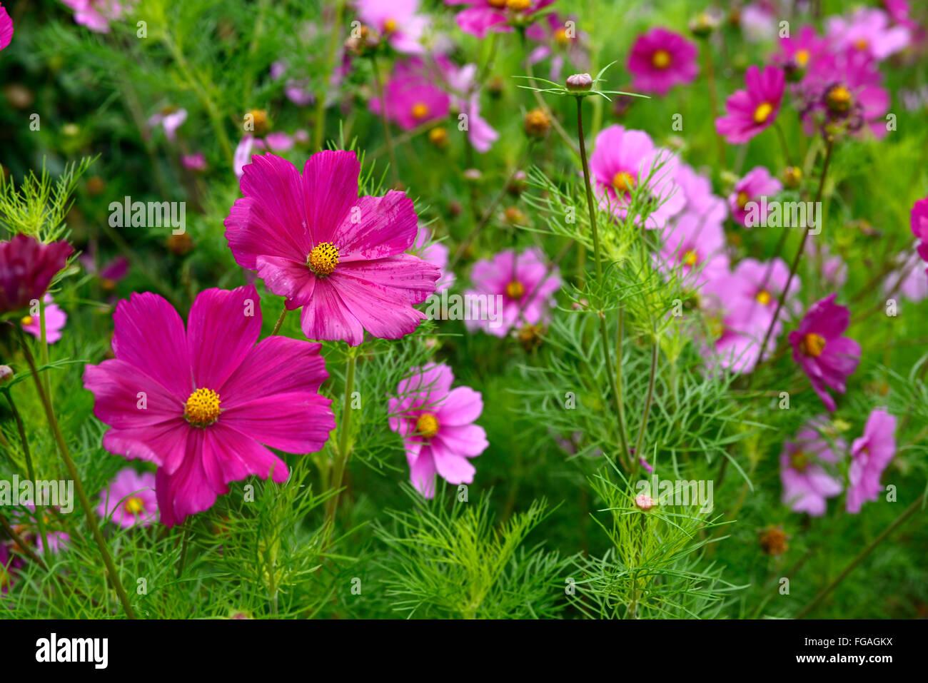Sensazione di cosmos mix rosa viola fiori annuali fiore fioritura