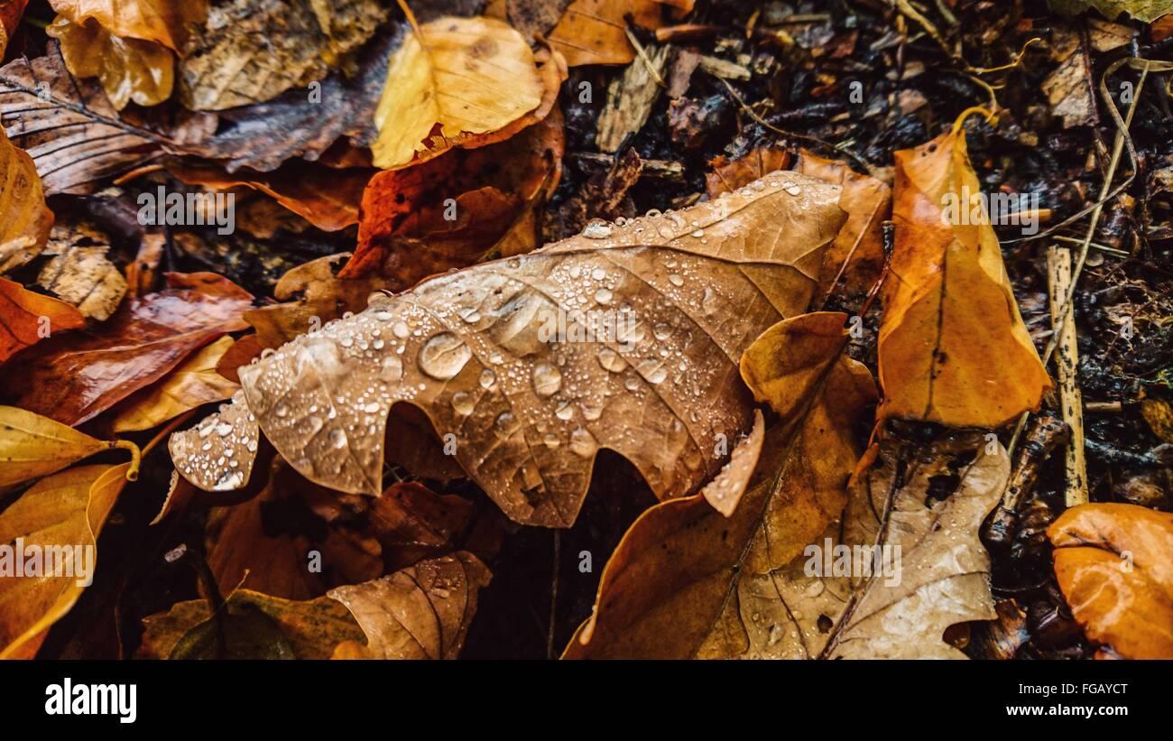 Gocce d'acqua in caduta foglie Immagini Stock