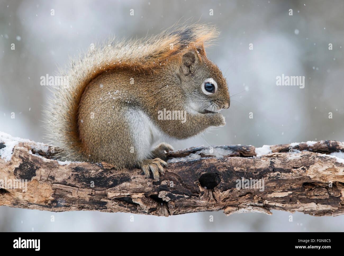 Eastern scoiattolo rosso di mangiare una ghianda (Tamiasciurus o Sciurus hudsonicus), inverno, e l'America del Immagini Stock