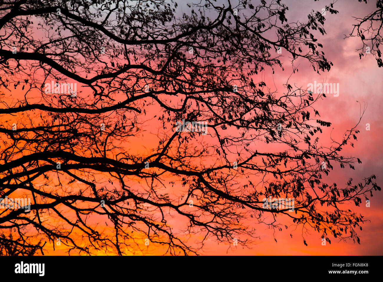 Acacia tramonto cielo rosso caldo Immagini Stock