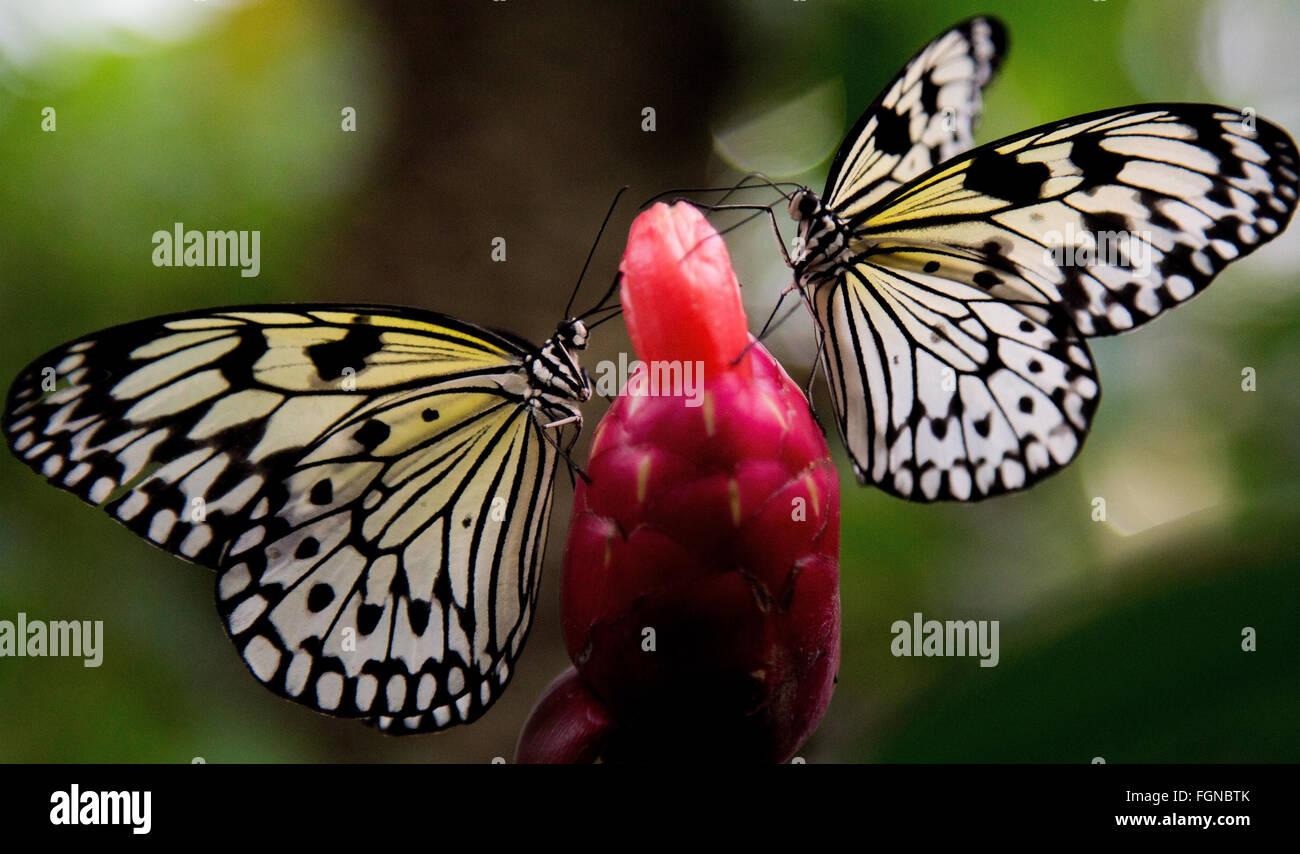Due Albero Bianco Ninfa farfalle Immagini Stock