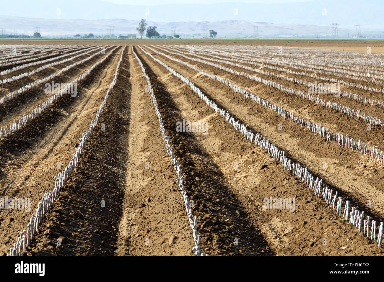 Talee di legno duro di stock di uva, campo di piantare, Kern County. Immagini Stock