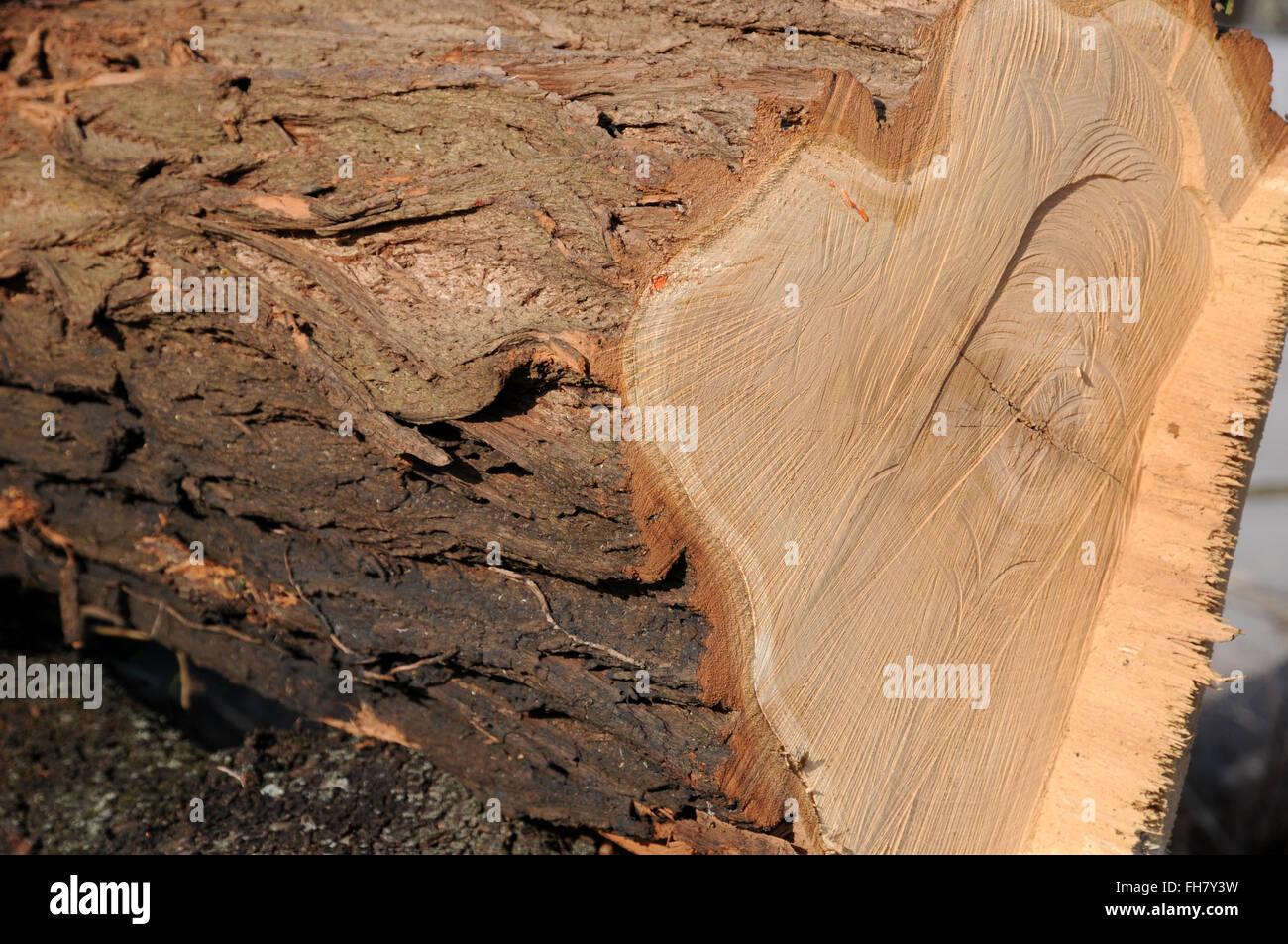 Robinia, legno Foto & Immagine Stock: 96675933 - Alamy