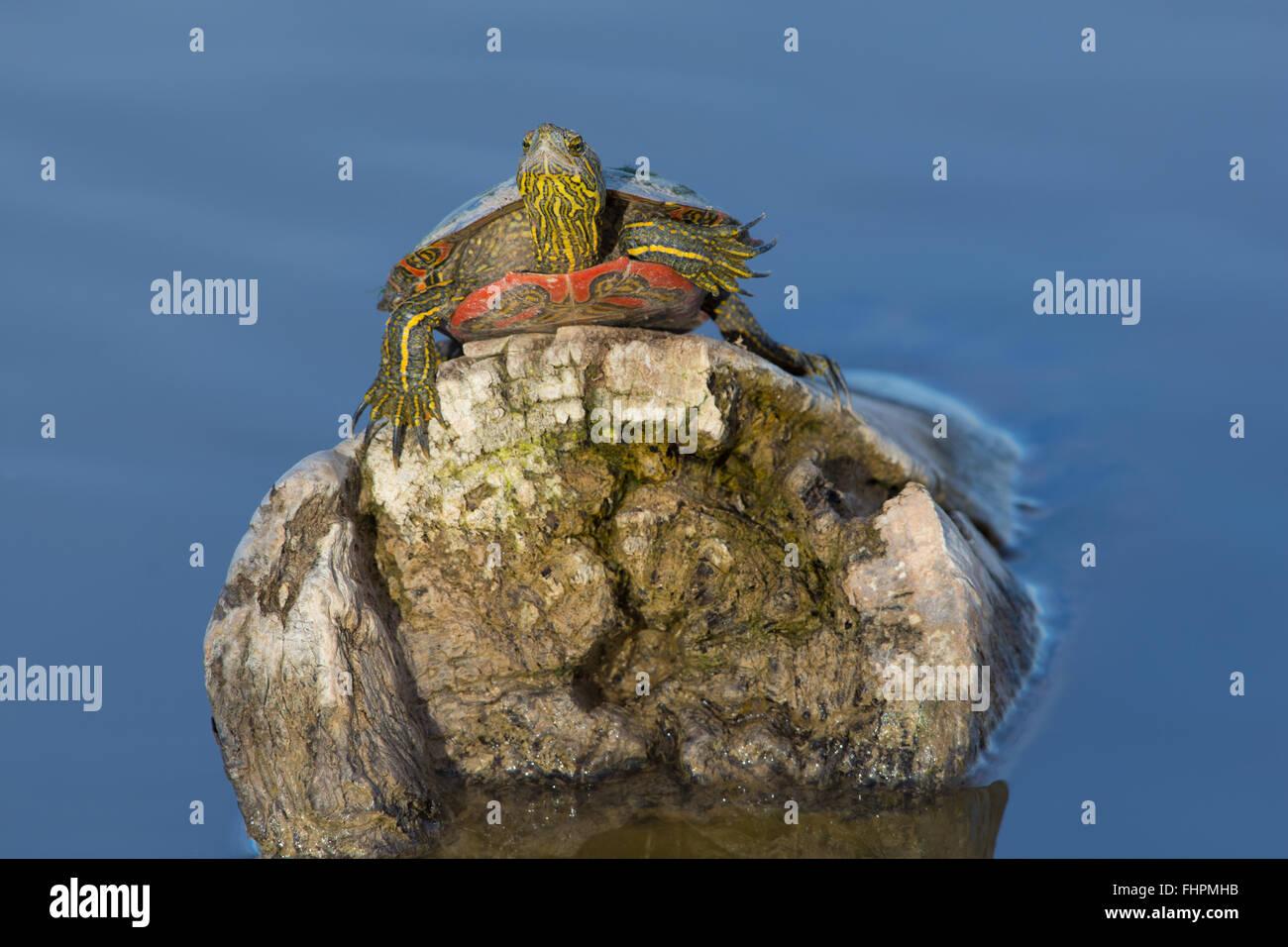 Western dipinto di tartaruga, (Chrysemys picta belli), Bosque del Apache National Wildlife Refuge, nuovo Messico, Immagini Stock