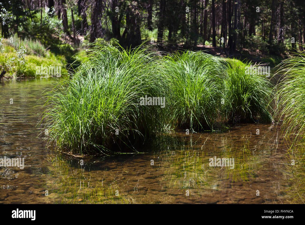 Erbe native fiorire nel fiume Merced serpeggianti attraverso la valle di Yosemite in primavera - California Immagini Stock
