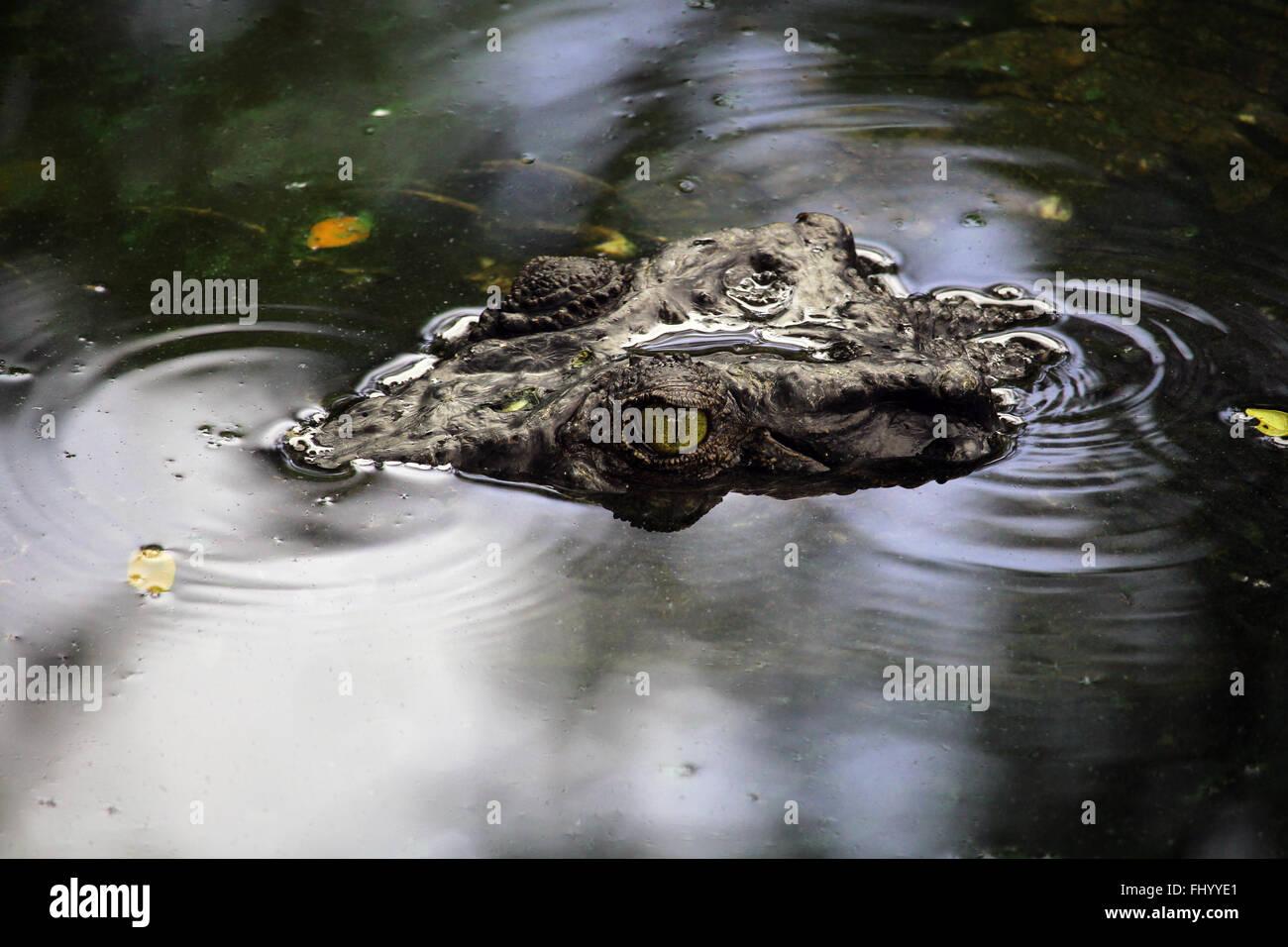 MIRI/MALAYSIA - 24 novembre 2015: un coccodrillo testa di uscire dall'acqua Borneo vicino al confine della Malesia con Brunei Foto Stock