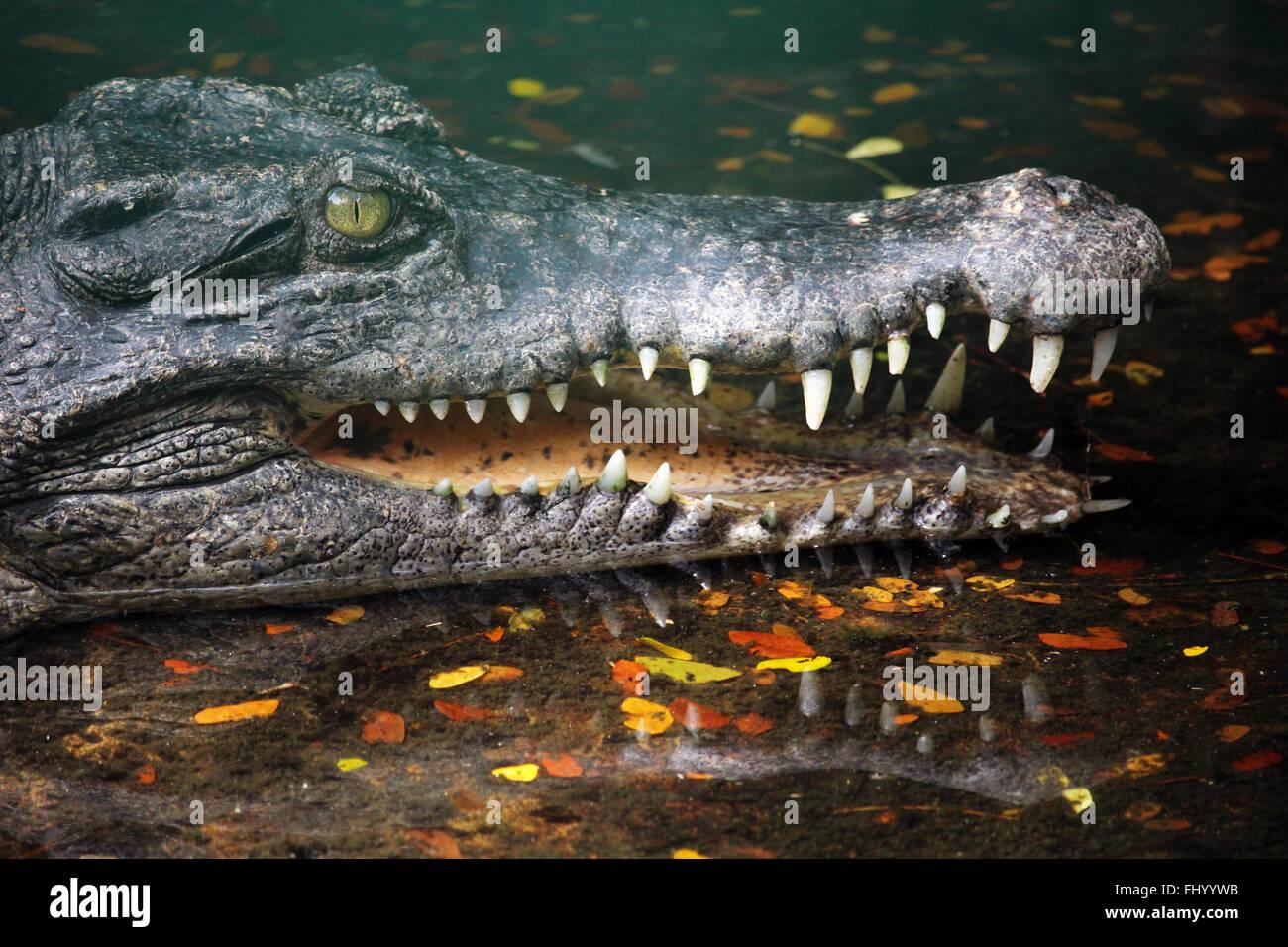 MIRI/MALAYSIA - 24 novembre 2015: un coccodrillo con grandi denti in Borneo vicino al confine tra la Malaysia e Brunei Foto Stock