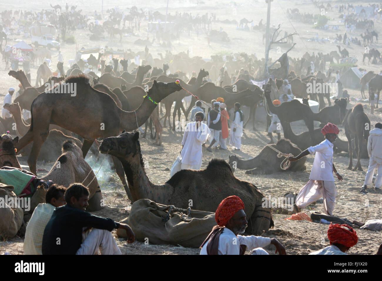 Rajasthani driver cammello sulla mela di massa durante la fase di Pushkar mela, India Immagini Stock