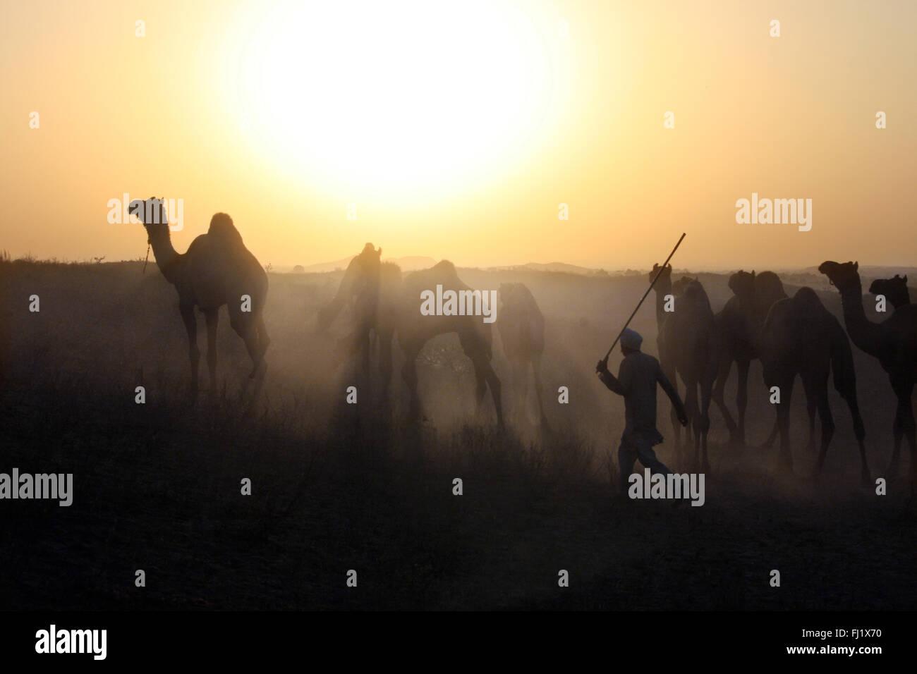Camel driver eseguito dopo i suoi cammelli dal tramonto durante il Pushkar mela , Rajasthan Foto Stock