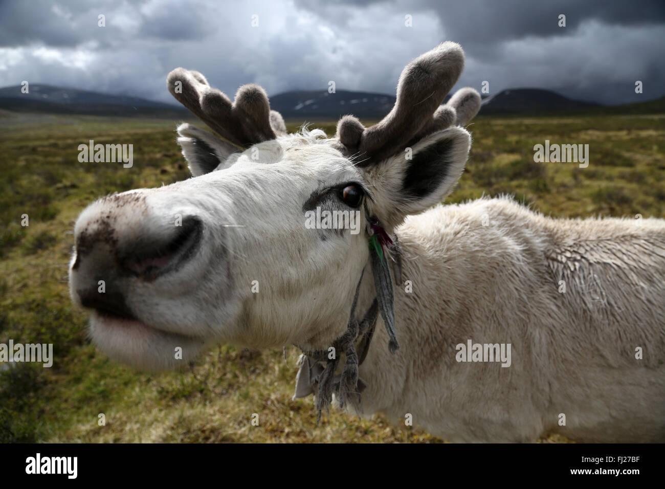La renna, , Tsaatan Dukha persone , nomadi allevatori di renne , Mongolia Immagini Stock