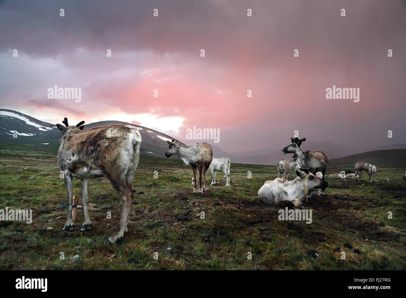 Mongolia Tsaatan nomads - persone di renne - tribù - le persone che vivono con le renne in Asia centrale Immagini Stock