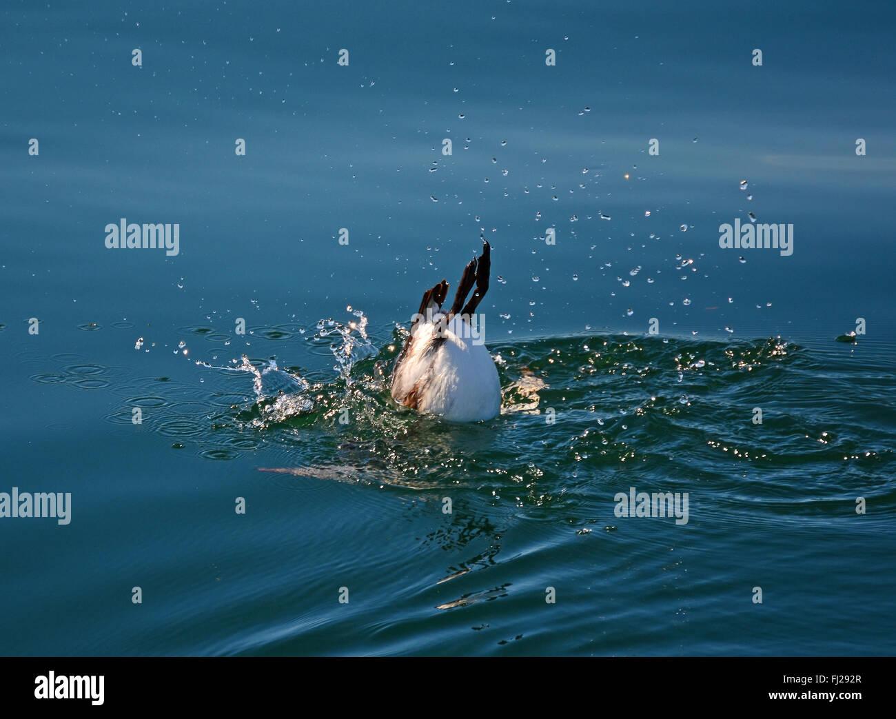 Murre comune, Uria aalge, immergersi nell'oceano Immagini Stock