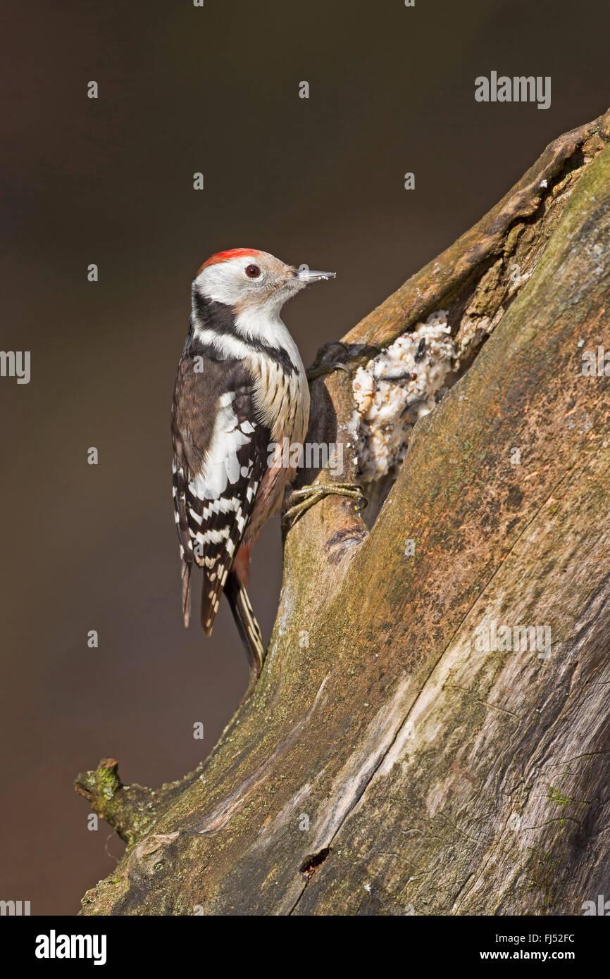 Medio macchie Picchio (Picoides medius, Dendrocopos medius), la ricerca di cibo in un marcio tronco di albero, fatti Immagini Stock