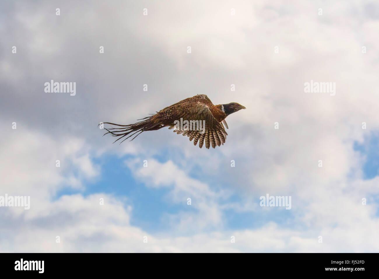 Il fagiano comune, Caucaso, Fagiano Fagiano caucasico (Phasianus colchicus), volare nel cielo, in Germania, in Baviera, Immagini Stock