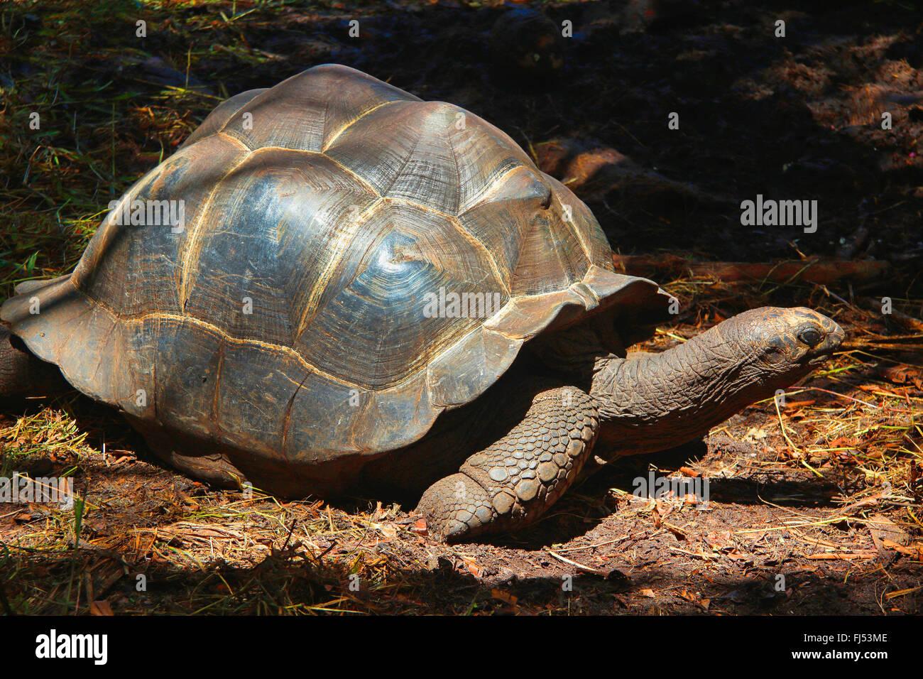 Seychelles tartaruga gigante, Aldabran tartaruga gigante, tartaruga gigante di Aldabra (Aldabrachelys gigantea, Foto Stock