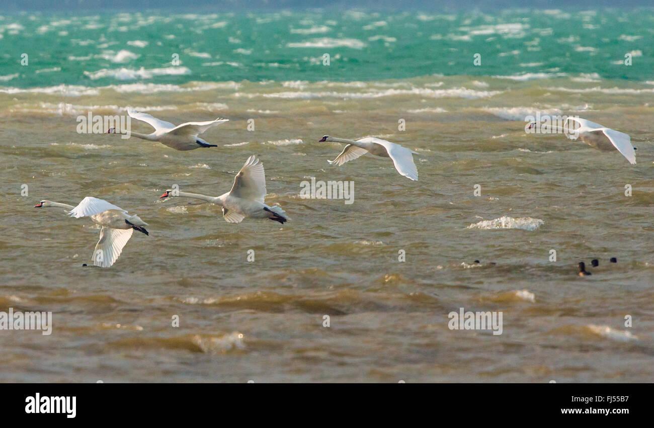Cigno (Cygnus olor), cinque cigni e determinati contro la tempesta, in Germania, in Baviera, il Lago Chiemsee Immagini Stock
