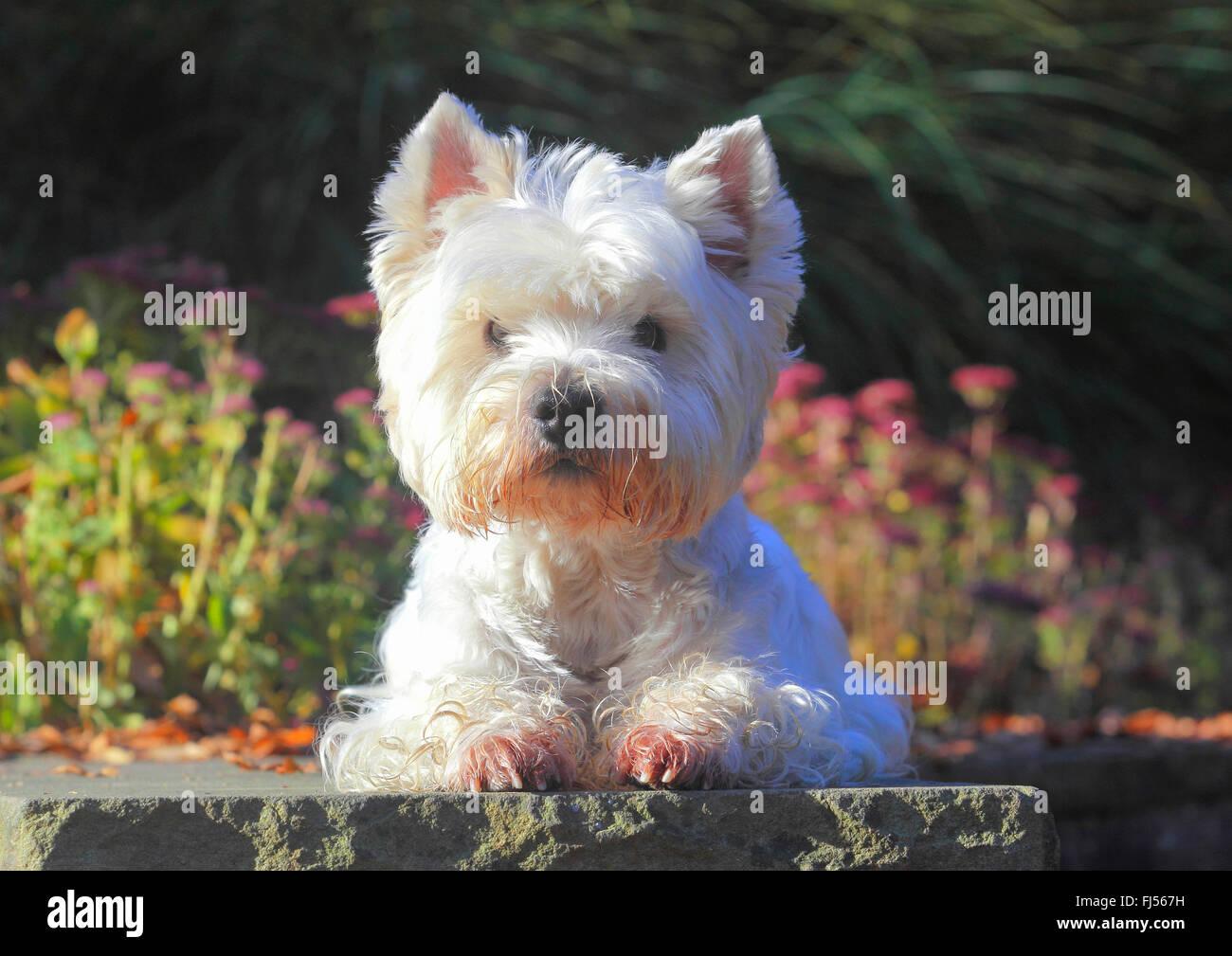 West Highland White Terrier, Westie (Canis lupus f. familiaris), nove anni vecchio cane maschio giacente in un parco Foto Stock
