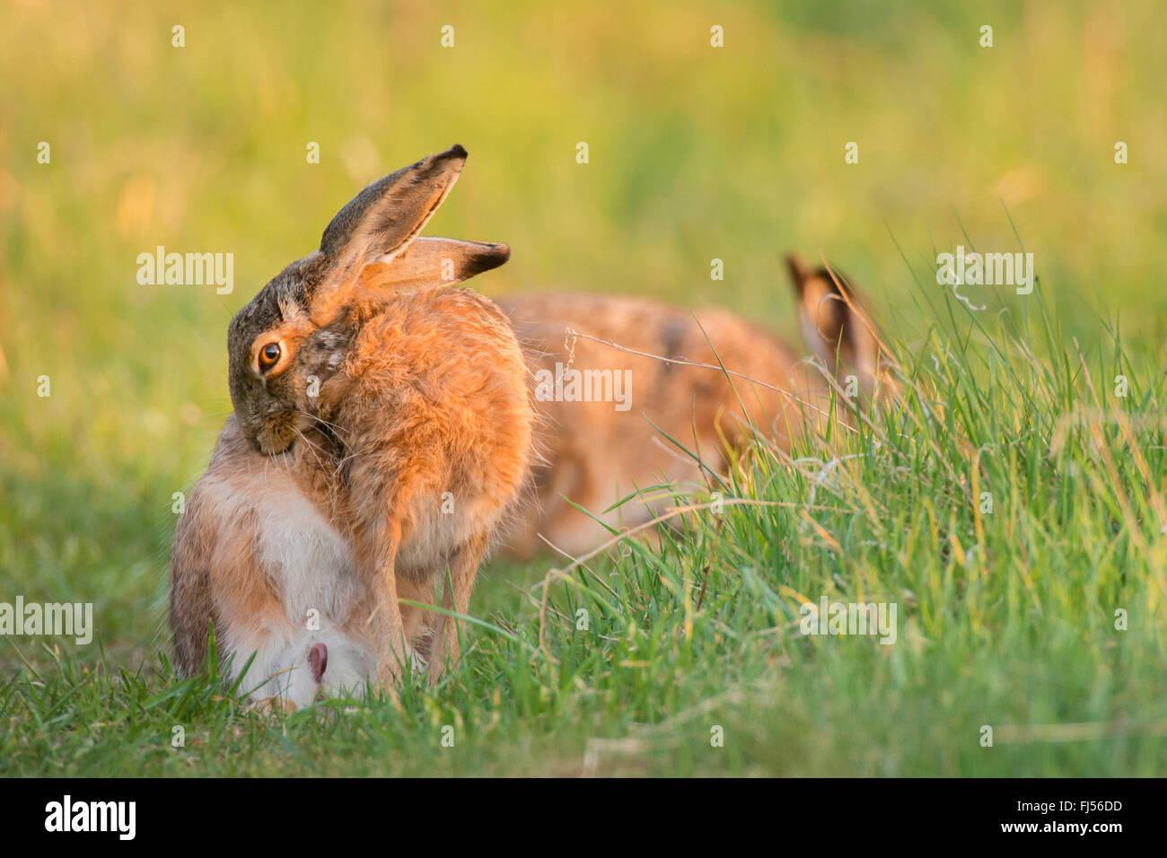 Lepre europea, Marrone lepre (Lepus europaeus), si prende cura della sua pelliccia, Germania, il Land Brandeburgo Immagini Stock