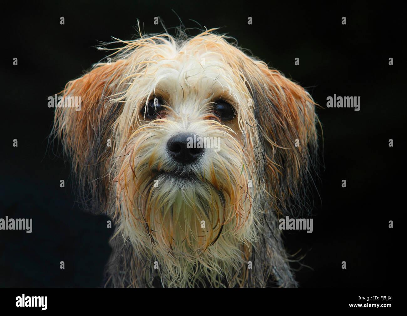 Razza cane (Canis lupus f. familiaris), cinque mesi Maltese maschio Chihuahua razza cane, ritratto con sfondo nero, Immagini Stock