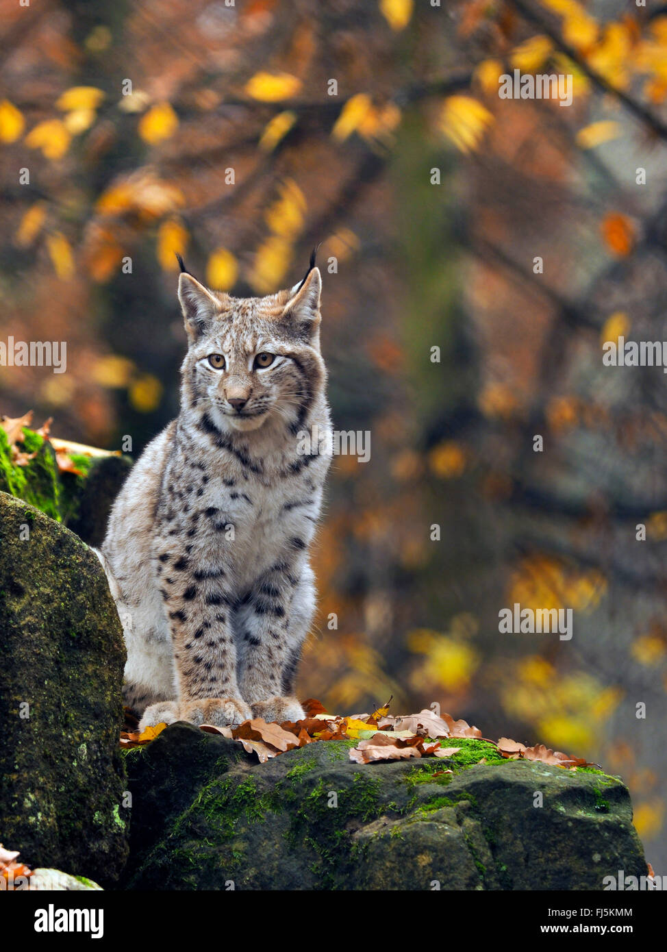 Nord (Lynx Lynx Lynx lynx), giovane lynx seduto su un masso, in Germania, in Baviera Immagini Stock