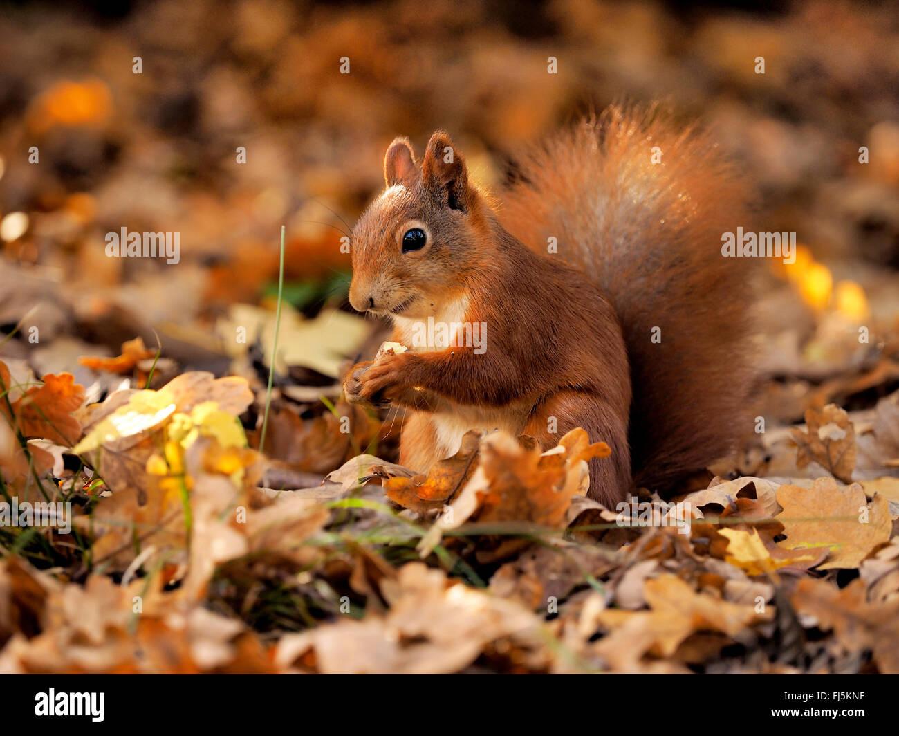 Unione scoiattolo rosso, Eurasian red scoiattolo (Sciurus vulgaris), seduta sul fogliame di autunno e mangiare, Immagini Stock