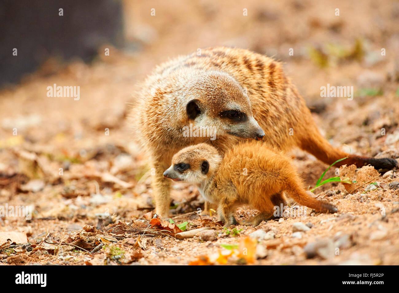 Suricate, sottile-tailed meerkat (Suricata suricatta), madre con la sua giovane Immagini Stock