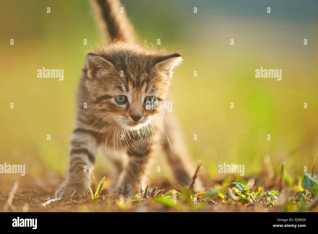 Il gatto domestico, il gatto di casa (Felis silvestris f. catus), cinque settimane vecchio cucciolo camminando in Foto Stock