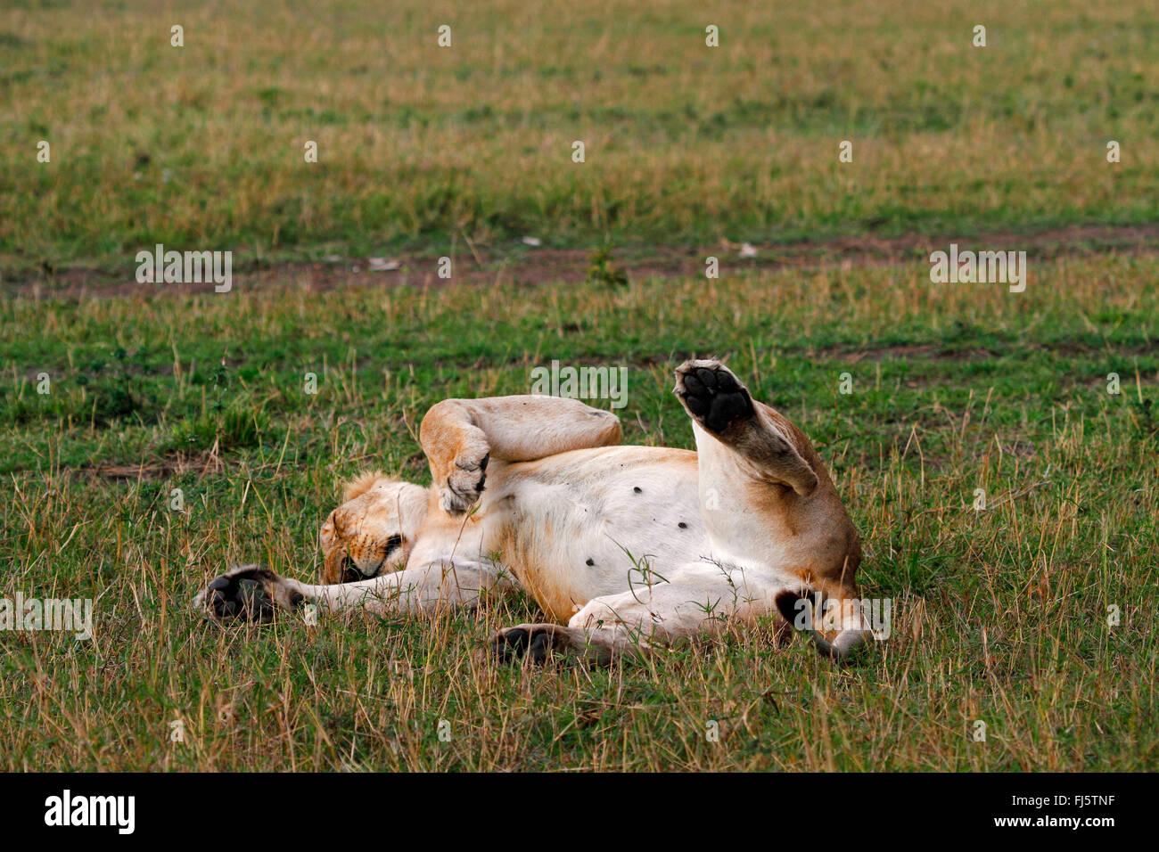 Lion (Panthera leo), Lys in posizione supina dormire, Kenia Masai Mara National Park Foto Stock