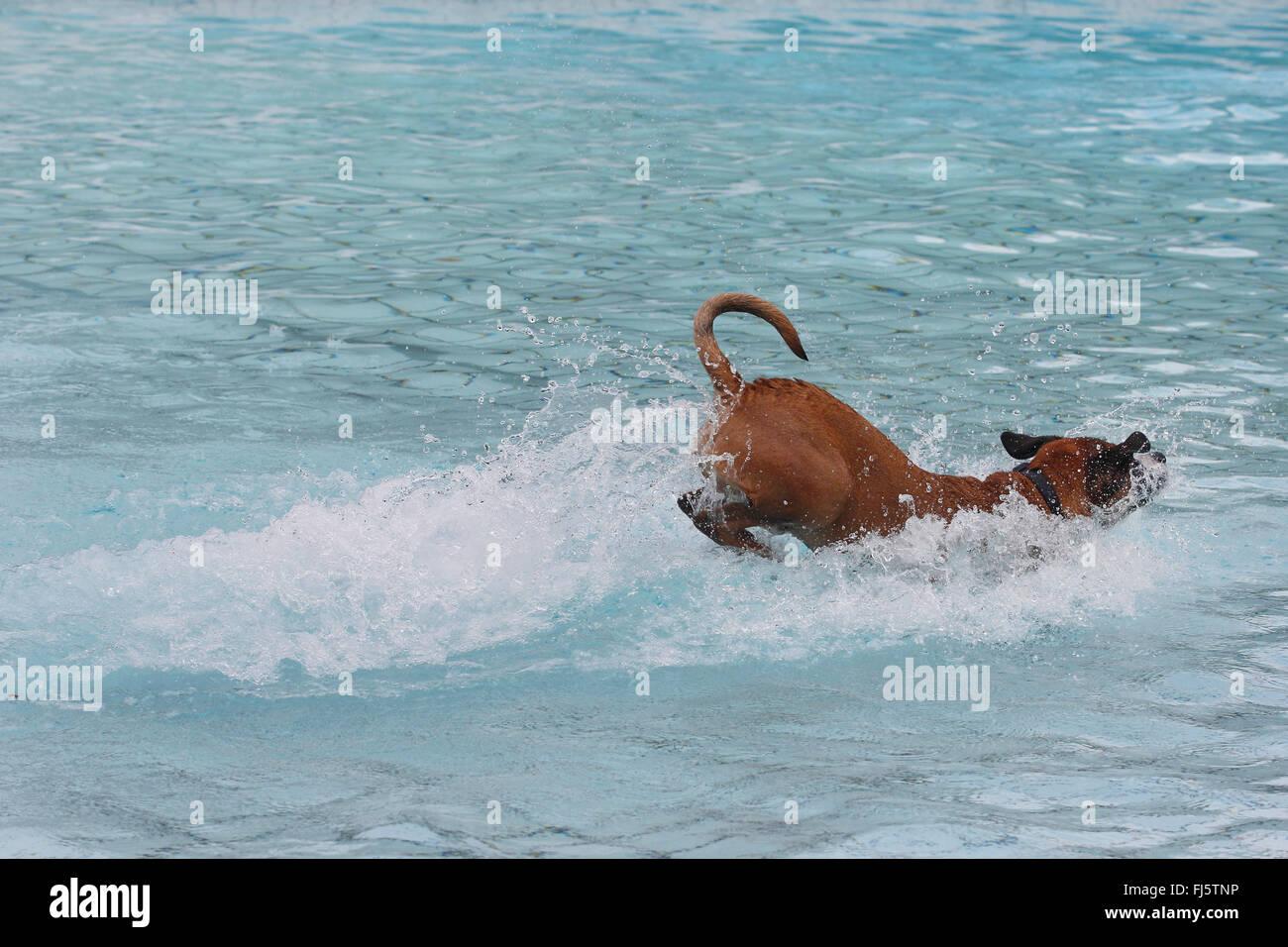 Razza cane (Canis lupus f. familiaris), sei anni boxer di razza cane saltare in acqua di una piscina bagno, Germania Immagini Stock