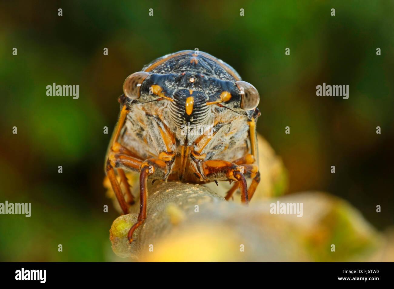 Comune Europeo meridionale cicala (Lyristes plebejus, Lyristes plebeius, Tibicen plebejus, Tibicen plebeius), ritratto Immagini Stock