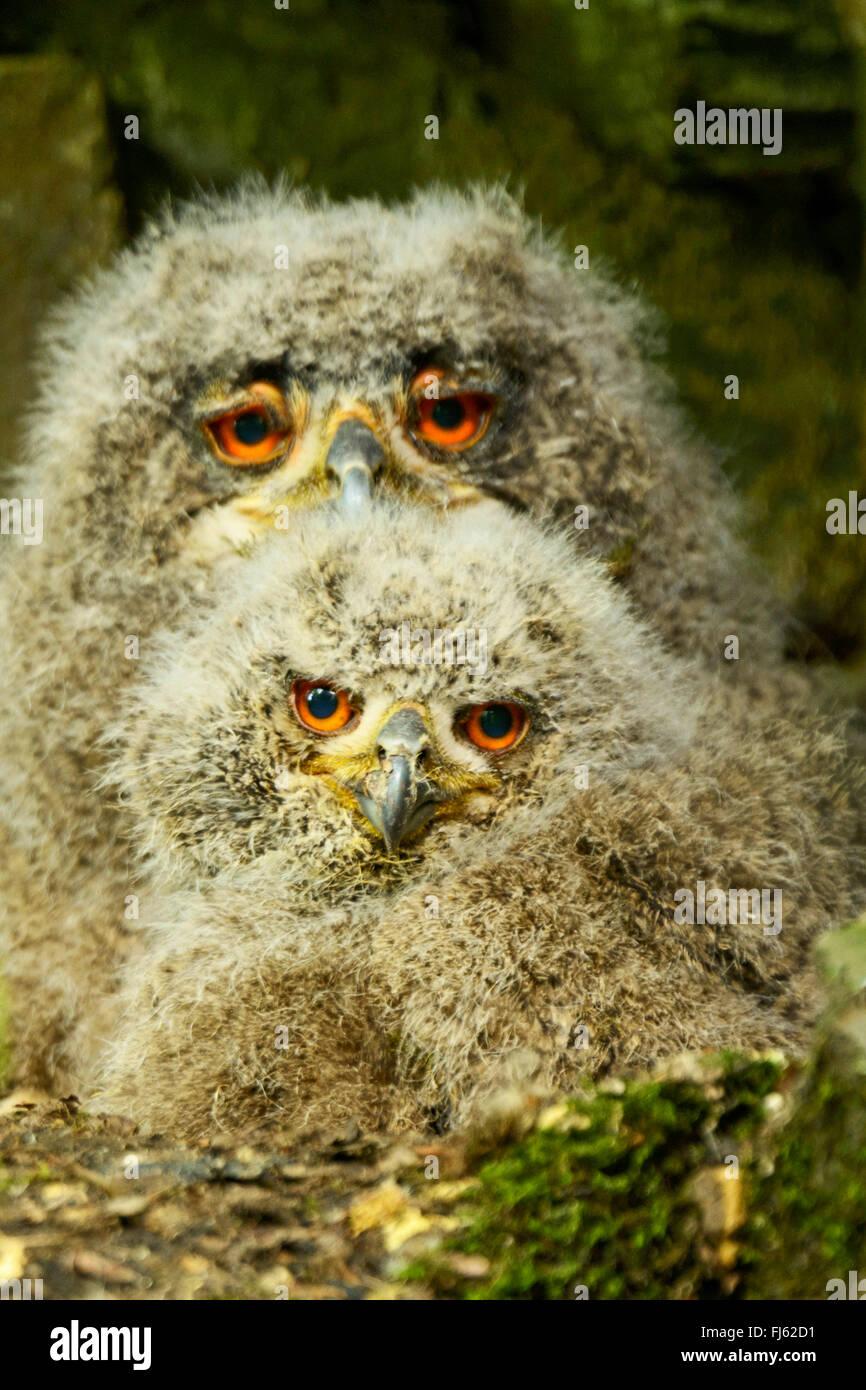 Nord del gufo reale (Bubo bubo), due giovani northern eagle ows nel nido, Germania Immagini Stock