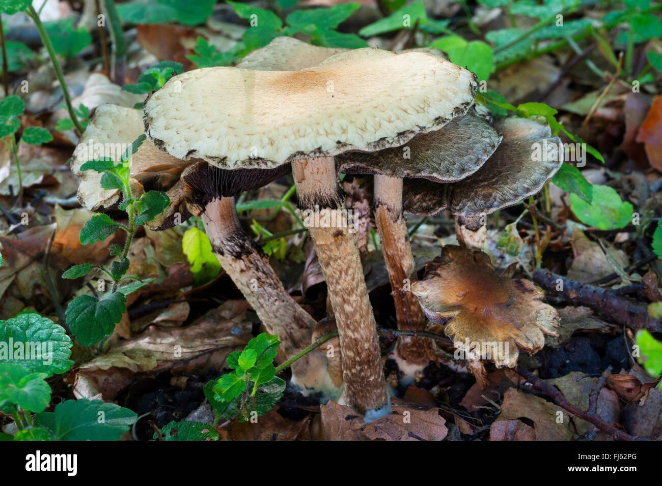 Piange la vedova (Lacrymaria lacrymabunda, Psathyrella lacrymabunda), di corpi fruttiferi sul suolo della foresta, Immagini Stock