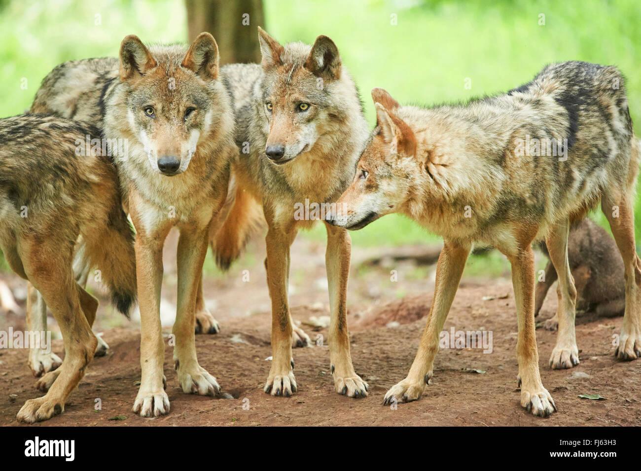 Unione lupo (Canis lupus lupus), i lupi in una foresta, in Germania, in Baviera Immagini Stock