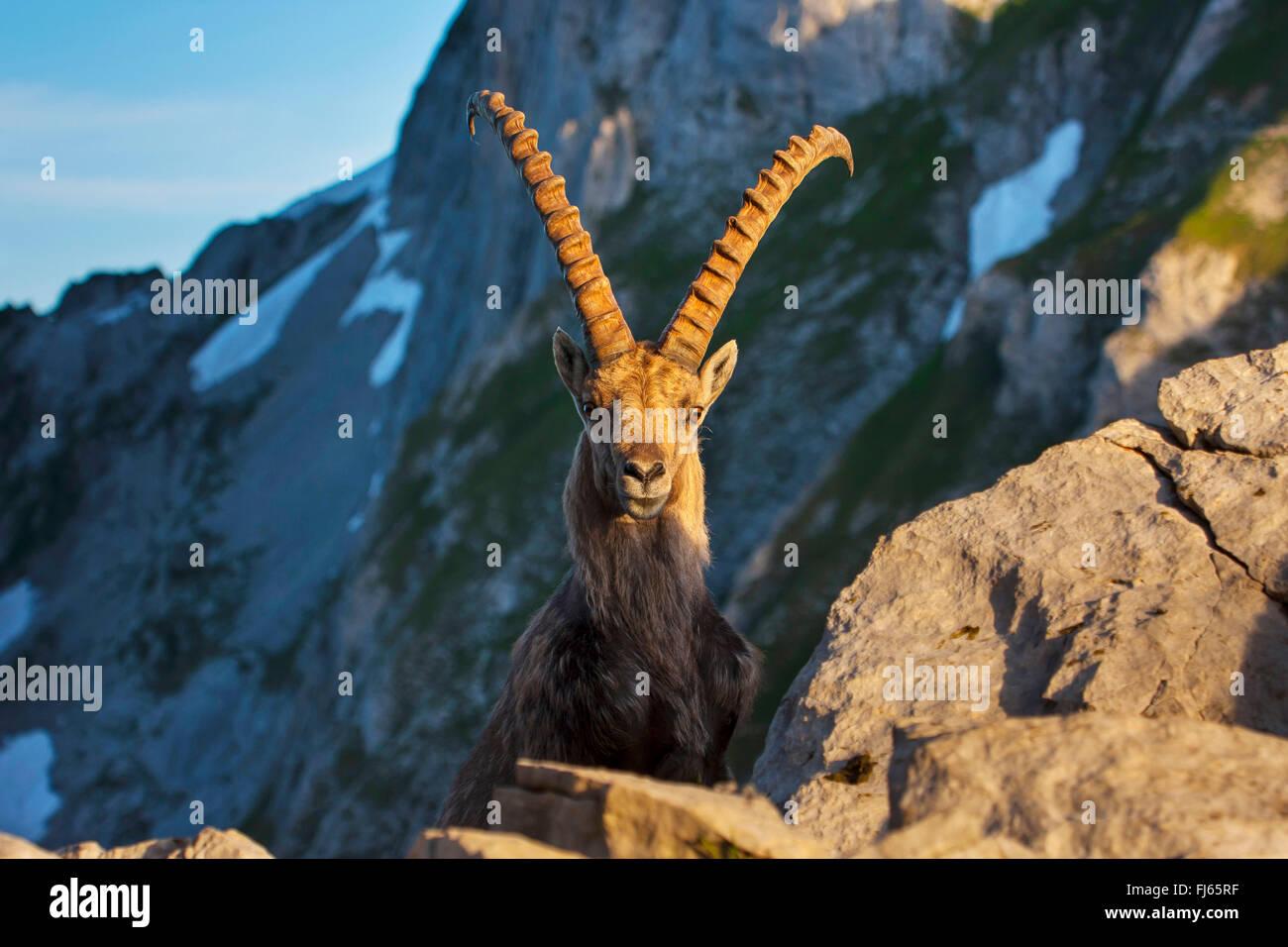 Stambecco delle Alpi (Capra ibex, Capra ibex ibex), nella luce del mattino davanti a uno sfondo montano, Svizzera, Immagini Stock