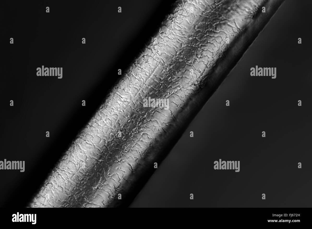 Persone, esseri umani, esseri umani (Homo sapiens sapiens), capelli umani microscopici Immagini Stock