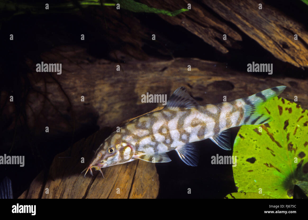 Il pakistan loach, Yoyo loach (Botia almorhae, Botia lohachata), nuoto Immagini Stock